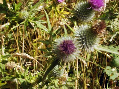 Thistles in bloom (August 05)